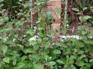 Persicaria filiformis2